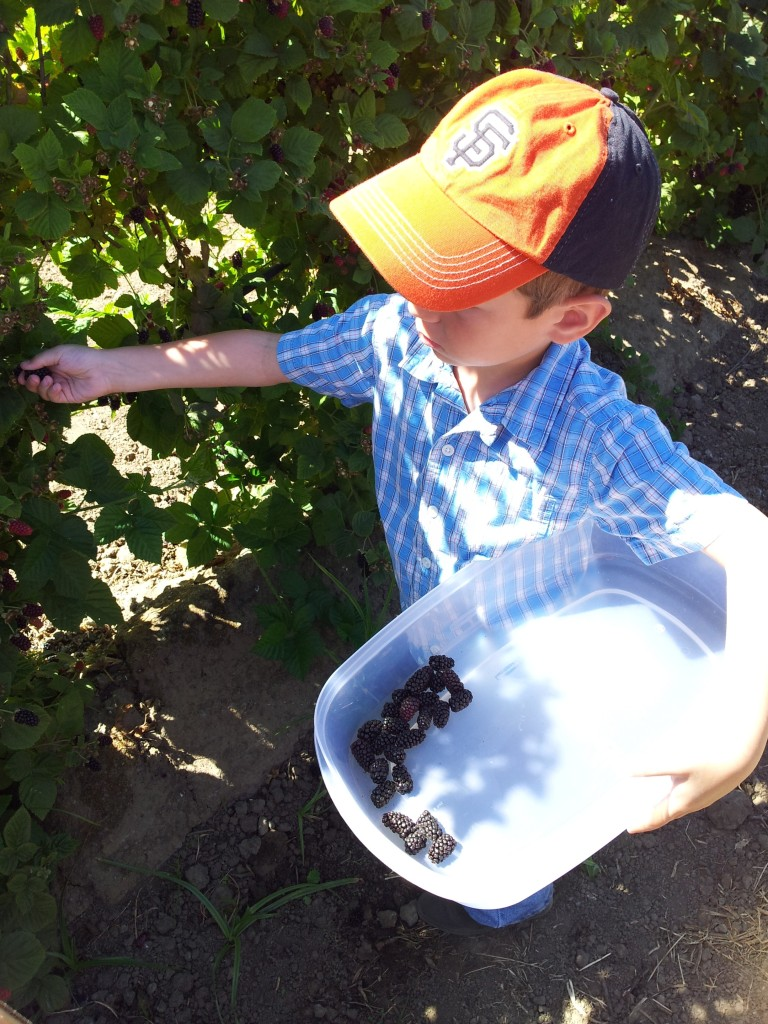Picking olallieberries